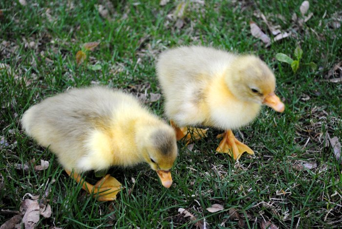 goslings exploring